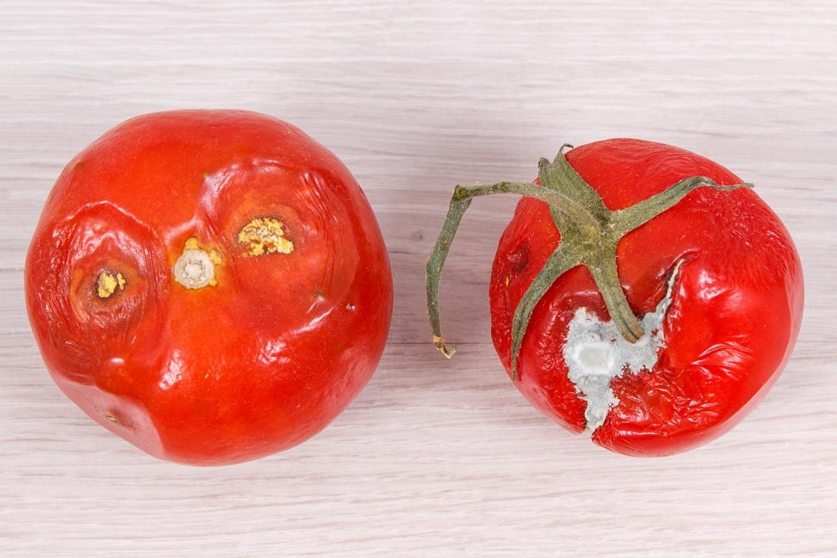 plesnivá rajčata