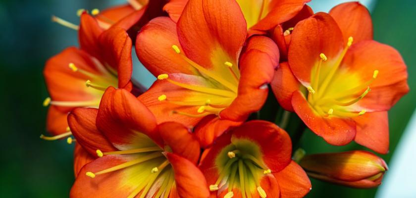 klívie v květu