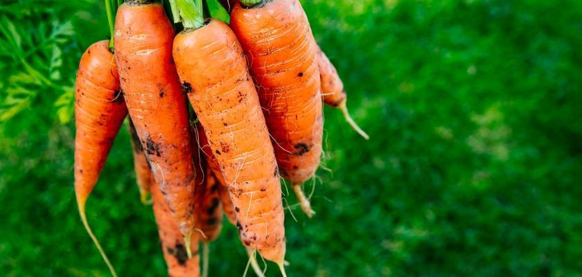 oranžová mrkev