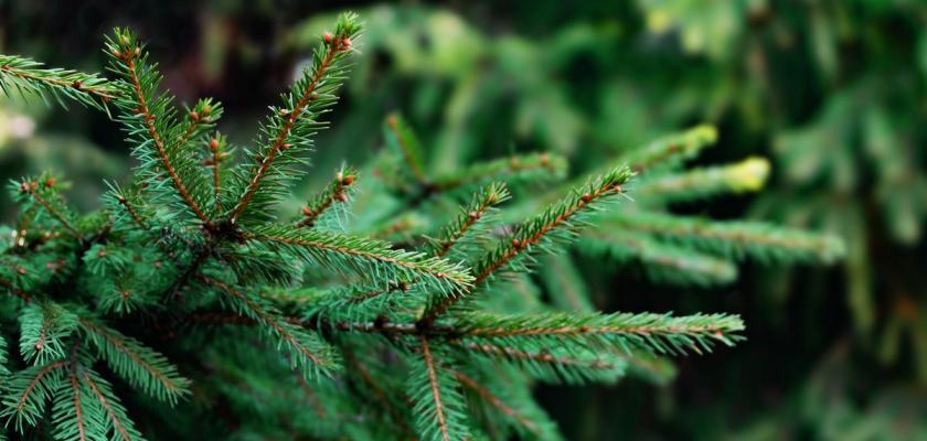 likvidace vánočního stromku