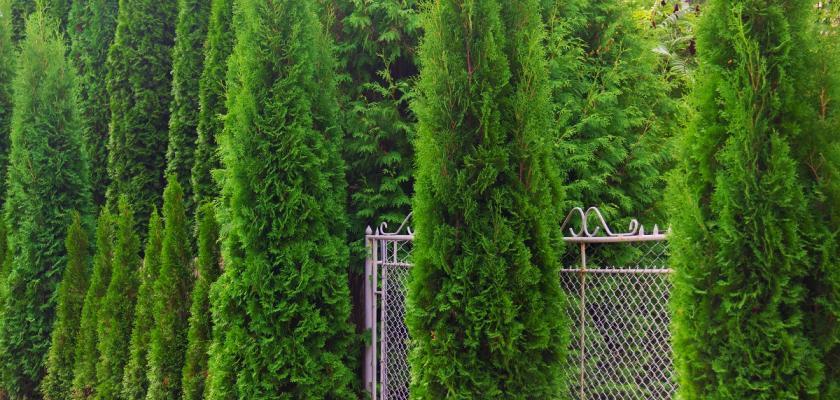 živý plot z tújí