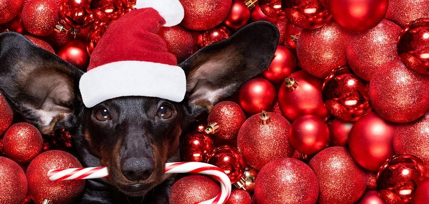 vánoční pes