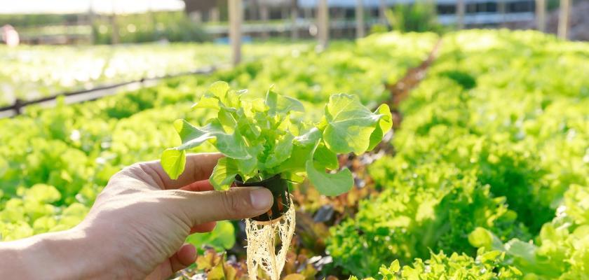 hydroponicky pěstovaný salát