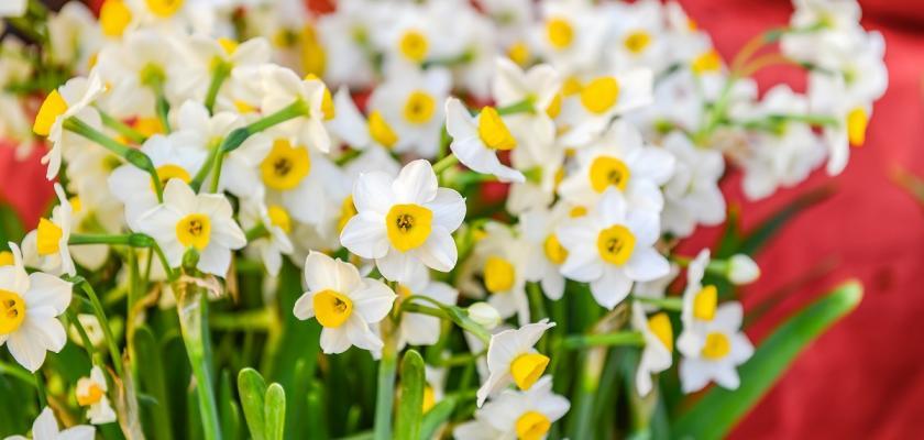 drobné květy narcisů