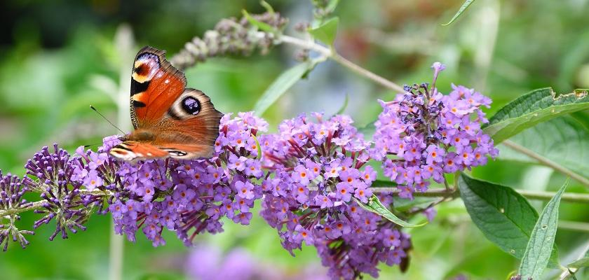 motýlí keř fialový