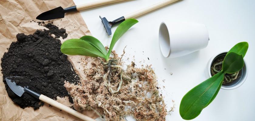 přesazování orchidejí doma