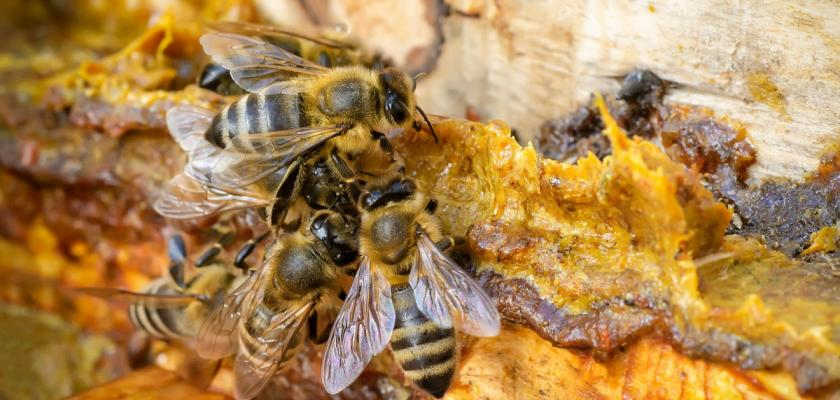 včely a prpolis