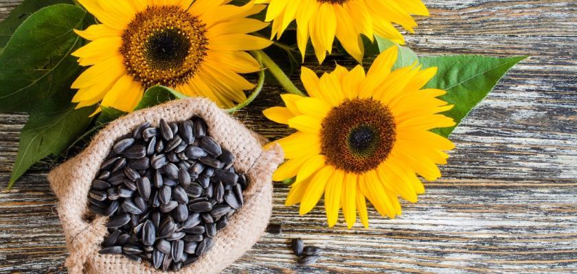slunečnice a slunečnicová semínka