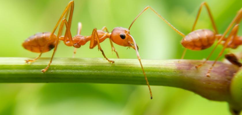 mravenec rudý