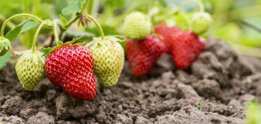 plody jahodníku