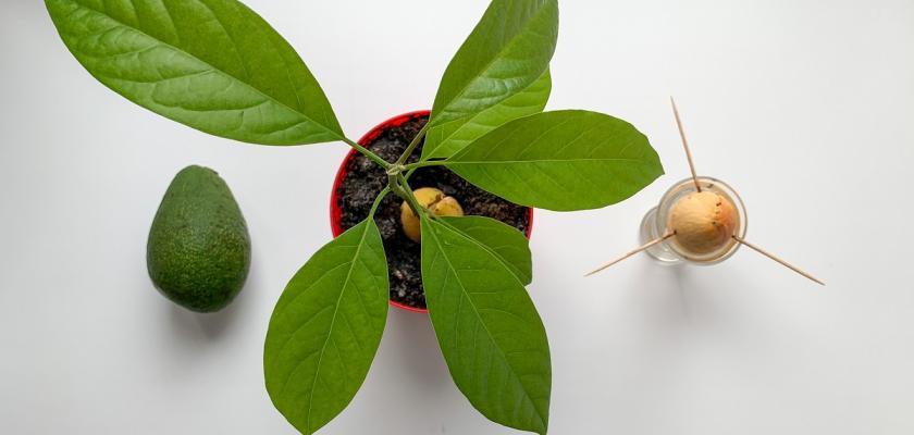 avokádo v květináči