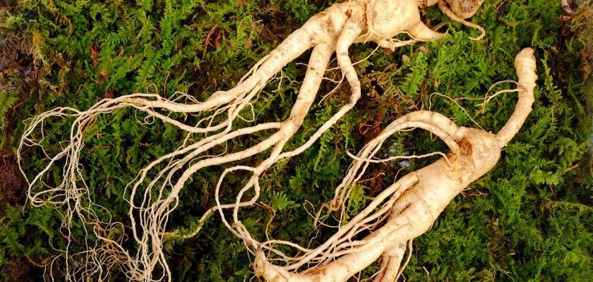 kořen ženšenu