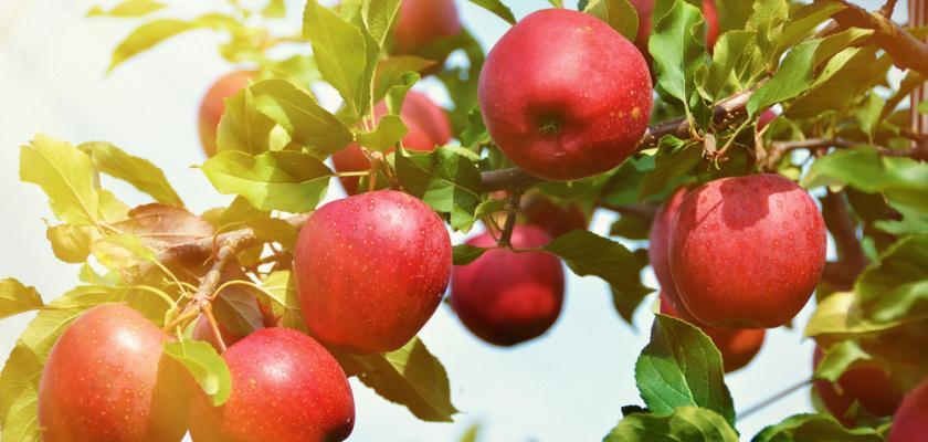 úroda jablek