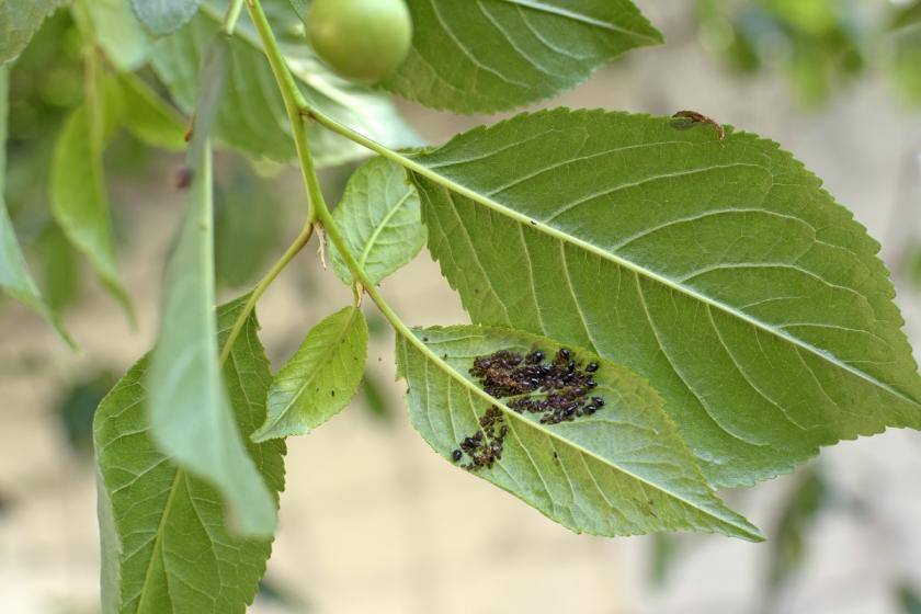 mšice ve spodku listů
