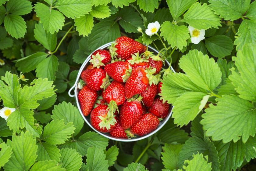 čerstvě natrhané jahody