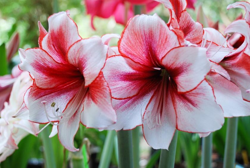 květy amarylis