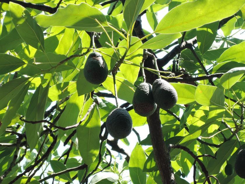 avokádo na stromě