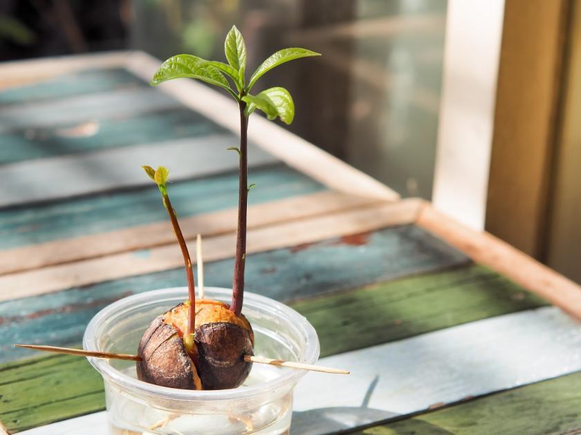 pěstování avokáda z pecky