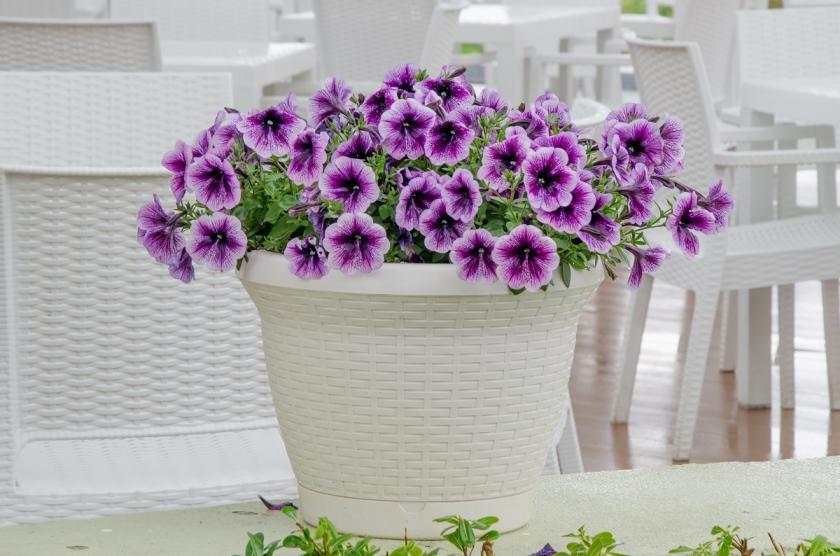 kvetoucí pokojovka