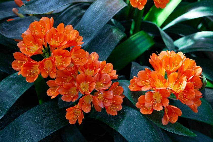 květy klívie
