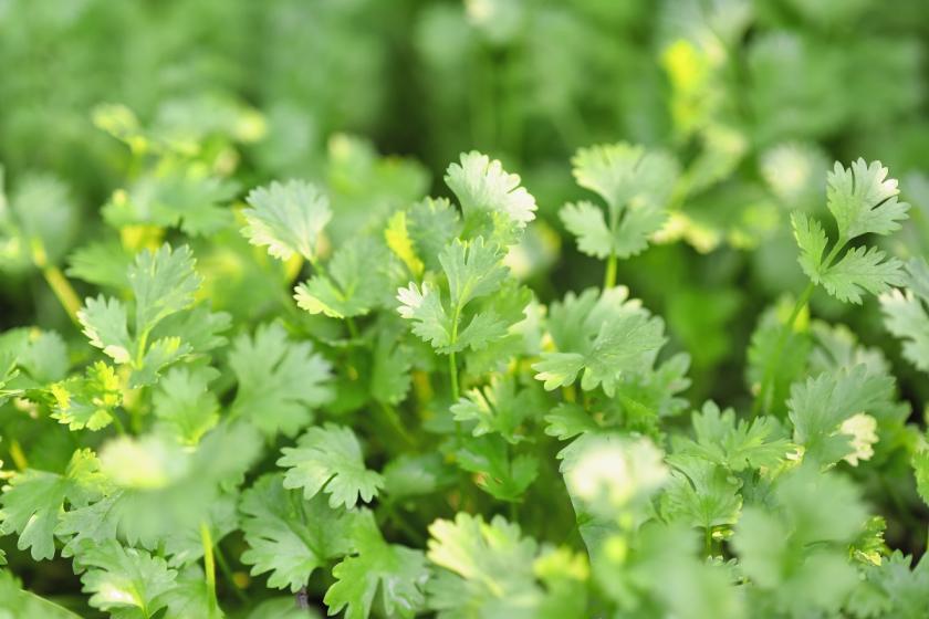 čerstvé listy koriandru