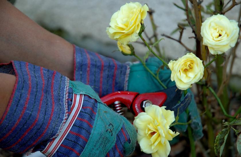 sestříhání růží