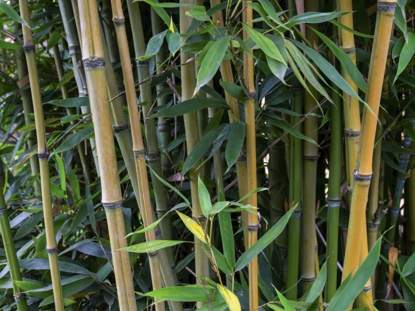 rychle rostoucí bambus
