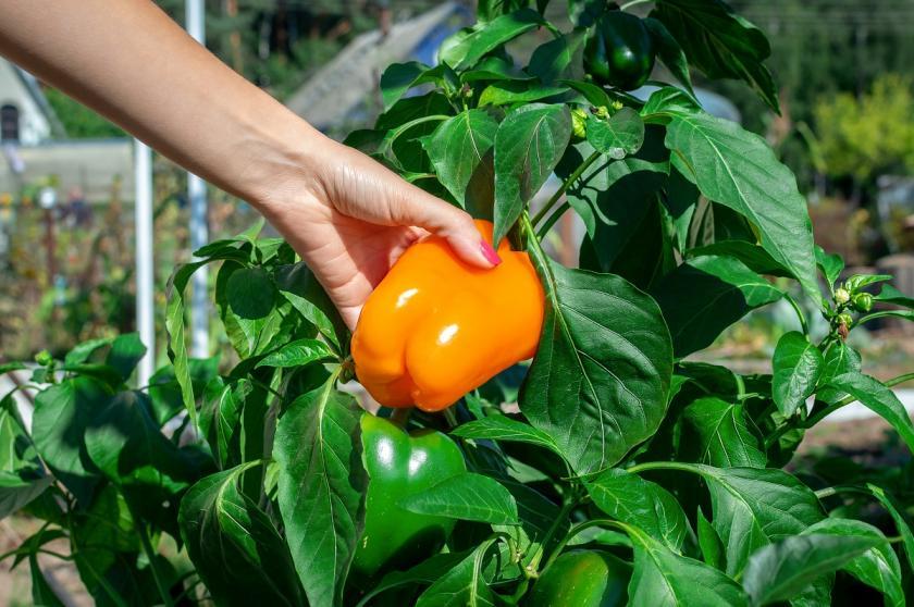 oranžová paprika