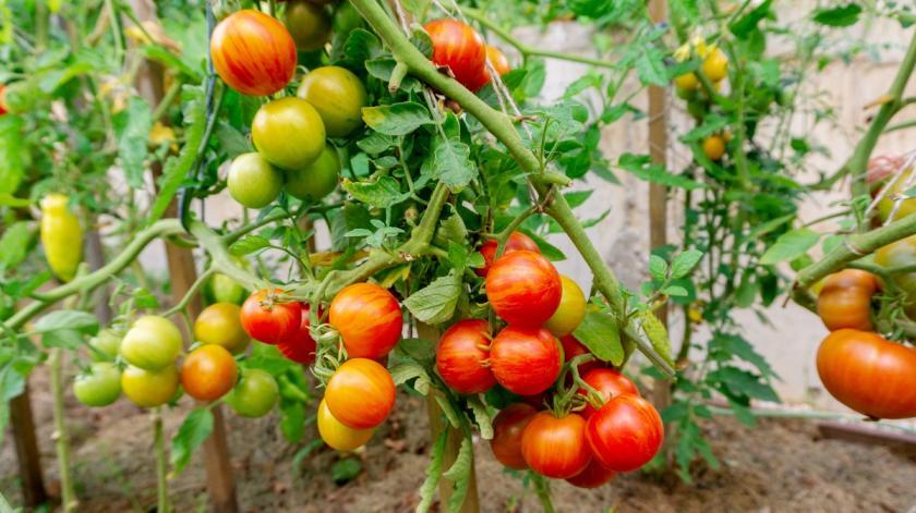 rajčata na stonku