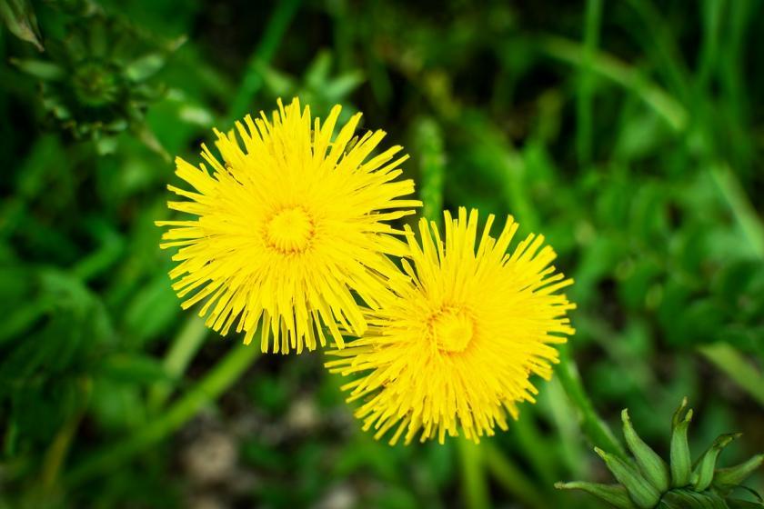 două flori de păpădie