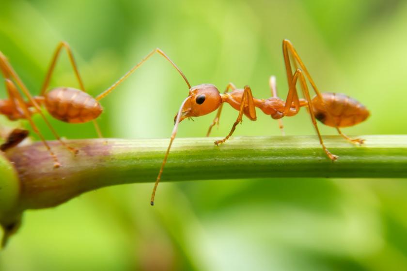 mravenec na stonku