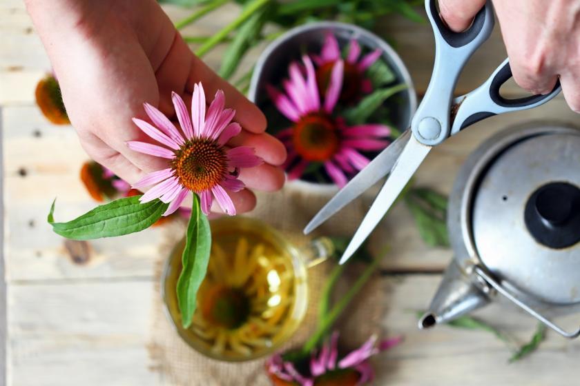 květy echinacea