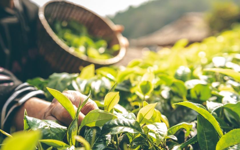 sběr listů čajovníku