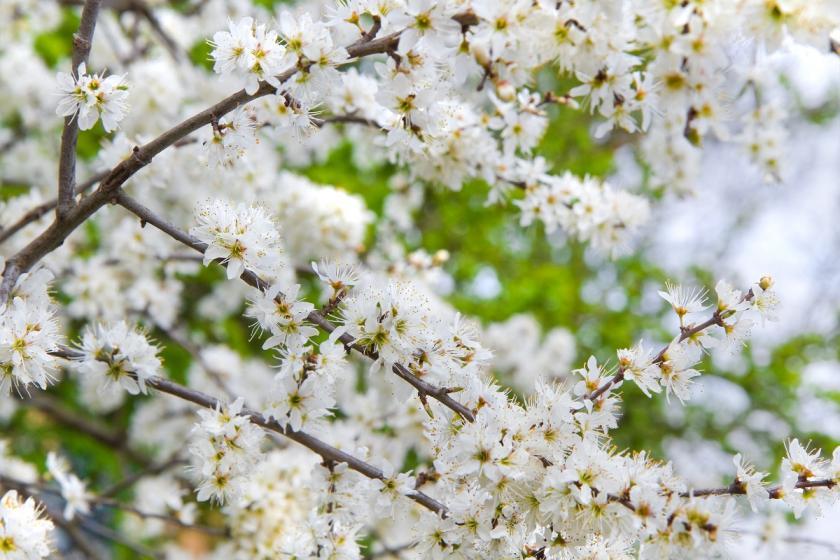 trnkové květy