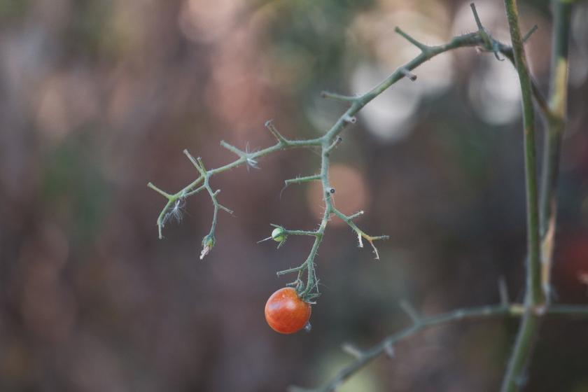 rajče na stonku