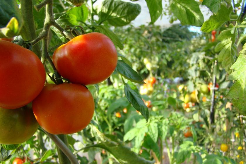 rajčata na zahradě