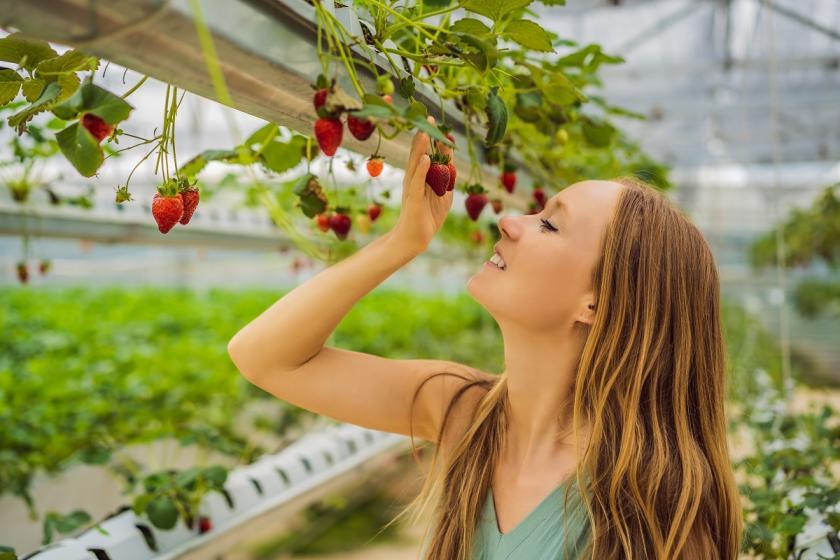 hydroponicky pěstované jahody